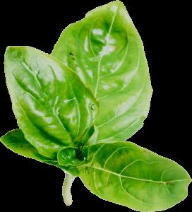 foglie di basilico